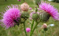 Thistle - the harvest of 2013 - is possible expor