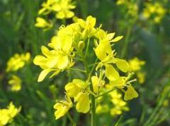 Oil mustard, not refined
