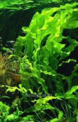 Морской салат,  водно-глицериновый экстракт...