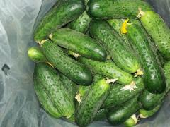 Marketable greenhouse cucumber