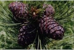 Oil of pine nut press nerafinirovannoy