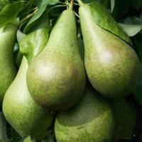 Zaailingen van peren