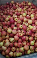 Odmiana Gala jabłko