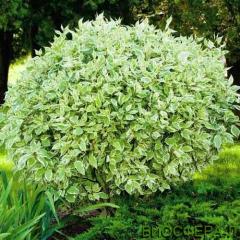 Derain white Sibirica