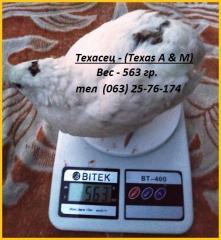 Яйца инкубационные перепела Техасец (USA).
