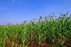 Семена сорго обычного зернового Зуни/Tzuni, 65-80 суток
