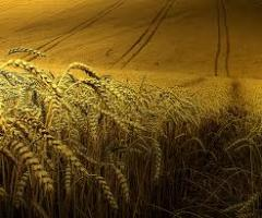 Seeds of winter barley Worthy 1r