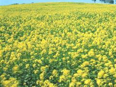 Mustard yellow seeds