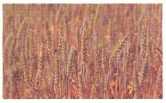 Cereals fodder
