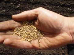 Seed grain mustard