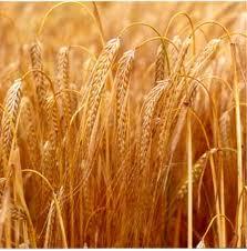 Seeds of winter wheat of Shestopavlovk E