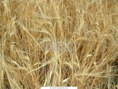 Barley seeds elite of primary seed grade Svyatogor.