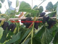 Черенки шелковицы