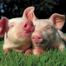 Свиньи от 120 кг.