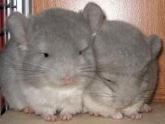 Chinchillas sale Donetsk Region.