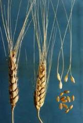 Культуры кормовые зерновые семена