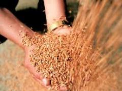 Продукция сельского хозяйства семена горчицы