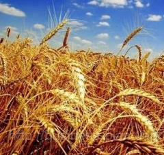 Культуры зерновые, экспорт