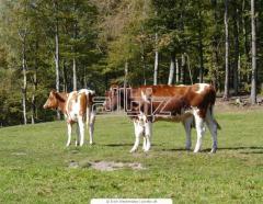 Молодняк крупного рогатого скота купить в Украине. Мясомолочные животные. Животноводство. Молодняк бычков.