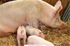 Свиноматки купить в Украине. Мясомолочные животные. Животноводство. Племенной скот.