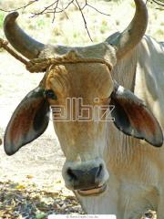 Скот крупный рогатый племенной купить в Украине. Племенные животные. Животноводство.