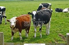 Скот крупный рогатый молочный купить в Черкасской области. Мясомолочные животные. Животноводство. Разведение коров молочных пород.