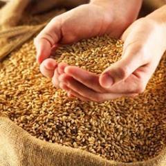 Посевмат озимой пшеницы, 1-я репродукция. Пшеница