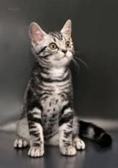 American Shorthair classic tabby kittens.