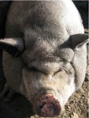 Pigs in Poltava region