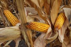 Гибриды кукурузы и подсолнечника Асприя Сидз-