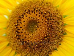 Sunflower seeds Dniester 16 g Novi Sad (sowing material of a sunflower)