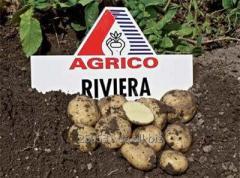 Семенной картофель Ривьера  (ультраранний)