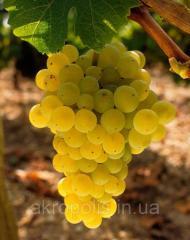 Виноград Мезёши Бела   венгерский столовый сорт