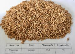 Пшеница Кохана