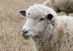 Lambs, Merino, state of emergency, sheep