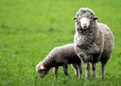 Meat of a lamb, Lambs, Rams breeding, Wool sheep,