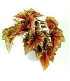 Растения комнатные Бегония
