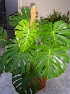 Растения комнатные Монстера