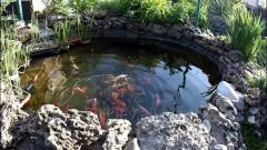 Garden pond with fish, japanese koi, aquatic