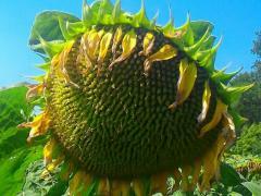 Семена подсолнечника НС Х 2652,  гранстароуст