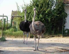 Молодая пара африканских страусов
