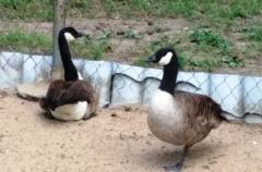 Канадские гуси, сформированные пары, крупный вид