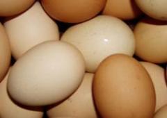 I will buy broiler eggs incubatory