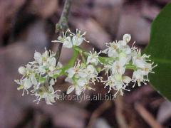 Essential oil of sandal-wood tree (amiris)