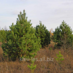 Pine ordinary, fir-tree, birch, oak red, maple,
