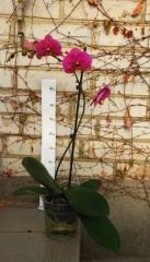 Phalaenopsis (Орхідея)9