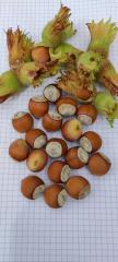Саженцы фундука сорт Хачапури