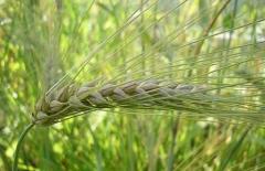 Семена озимого ячменя Достойный суперэлита