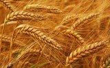 Семена пшеницы озимой Коляда суперэлита