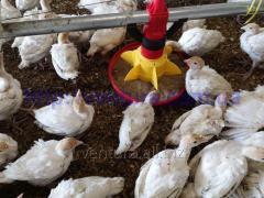 Equipment for growing turkeys